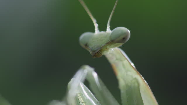 praying mantis (mantodea) on leaf in forest - animal eye stock videos & royalty-free footage