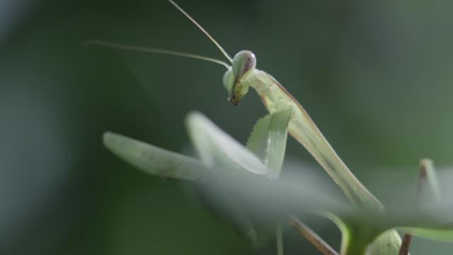 Praying mantis (Mantodea) on leaf in forest