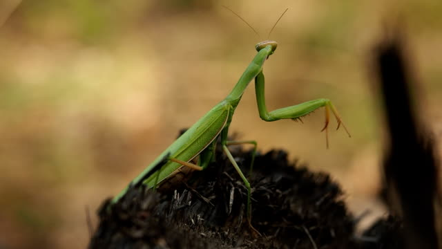 Praying mantis op de boomstam in het bos