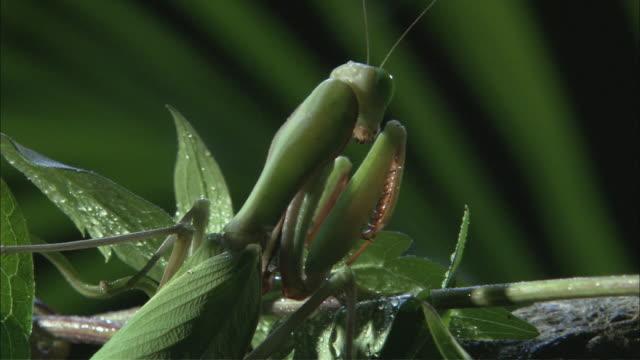 vídeos y material grabado en eventos de stock de td praying mantis perched on green leaves / melbourne, victoria, australia - rocío