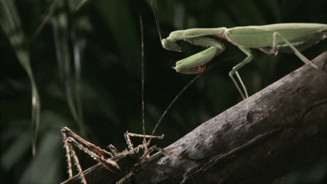 pan praying mantis standing on a branch attacking a cricket / melbourne, victoria, australia - animal attribute stock videos and b-roll footage