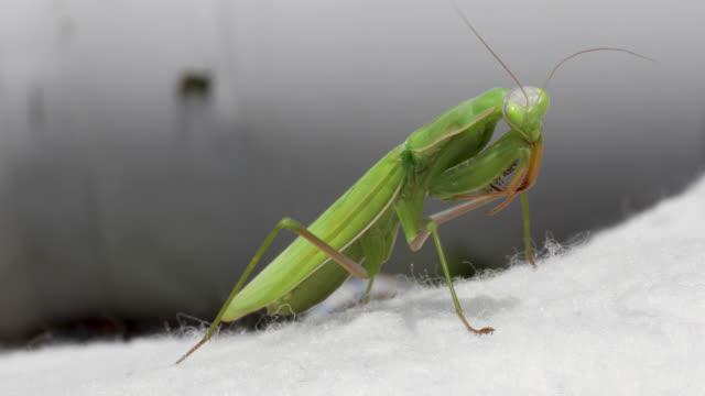 stockvideo's en b-roll-footage met biddende mantis - voelspriet