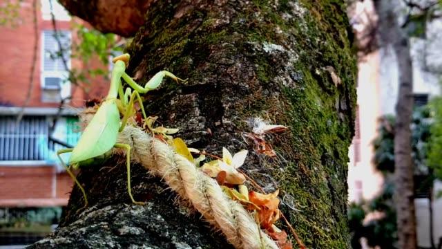 praying mantis walking - bright colour stock videos & royalty-free footage