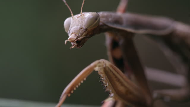 Praying mantis with parts of a grasshopper in its mandibles.