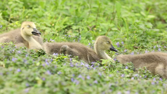 precious goslings in the grass - gosling stock videos & royalty-free footage