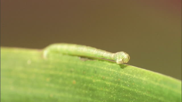 a predacious caterpillar rests on the edge of a leaf. - camouflage点の映像素材/bロール