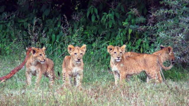 vidéos et rushes de predators of ngorongoro crater, tanzania - lion
