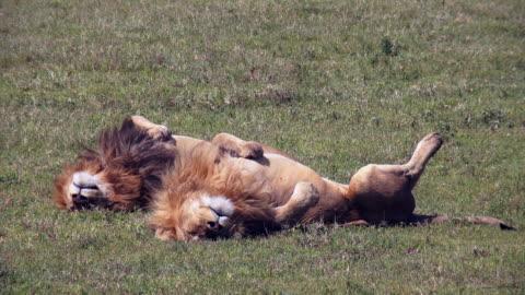 predators of ngorongoro crater, tanzania - sleeping stock videos & royalty-free footage