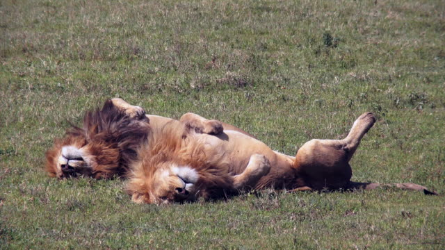 predators of ngorongoro crater, tanzania - lion stock videos & royalty-free footage