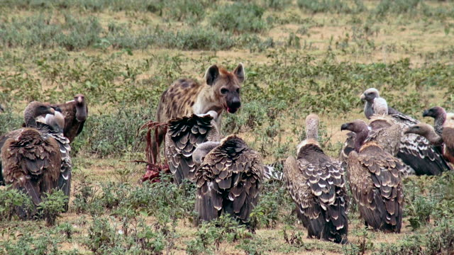 predators of serengeti national park, tanzania - vulture stock videos & royalty-free footage