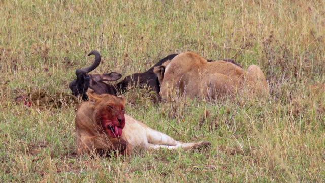 vídeos y material grabado en eventos de stock de predators of serengeti national park, tanzania - felino grande