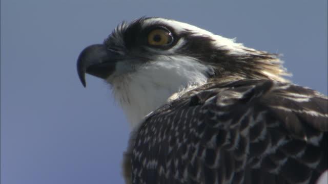 cu predatory bird face / yellowstone national park, wyoming, usa - ミサゴ点の映像素材/bロール