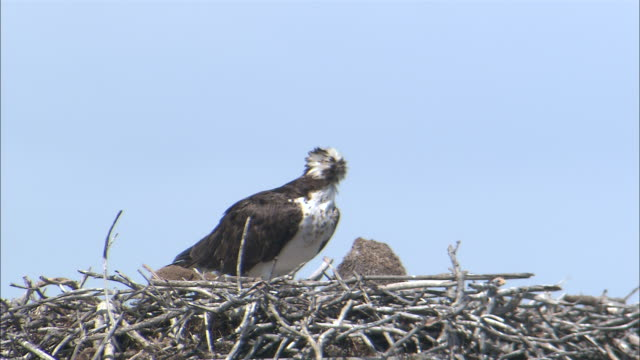 ms predatory bird in nest looks around on windy day / yellowstone national park, wyoming, usa - bird's nest stock videos & royalty-free footage
