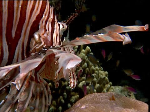 Predatory lionfish eyes up potential prey on reef, Sulawesi