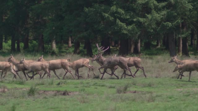 pèredavid'sdeer (davidshirsch) grazing on a meadow in front of a forest - wapiti stock videos & royalty-free footage