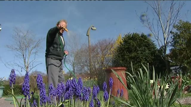predicted long dry summer could lead to hosepipe ban t01041205 / swindon low angle shot of blue grape hyacinth flowers being watered with hose shots... - ヒヤシンス点の映像素材/bロール