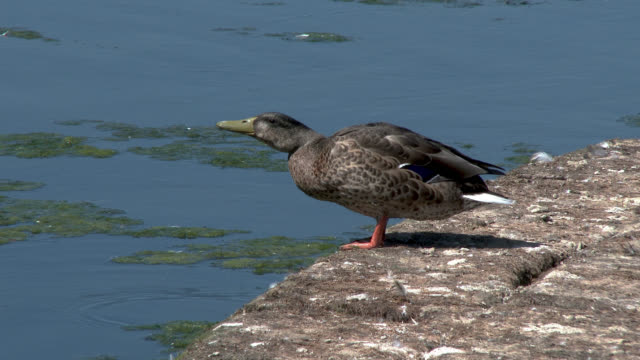 preening duck on a weir - johnfscott video stock e b–roll