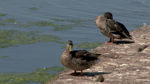vidéos et rushes de plumes de canard sur un déversoir - se lisser les plumes