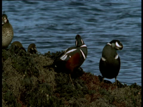 Preening male Harlequin duck is pecked by another in territorial dispute, Montague Island, Alaska