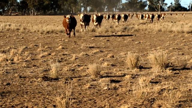 stockvideo's en b-roll-footage met zwangere runderen vaarzen uitgevoerd - landelijke scène