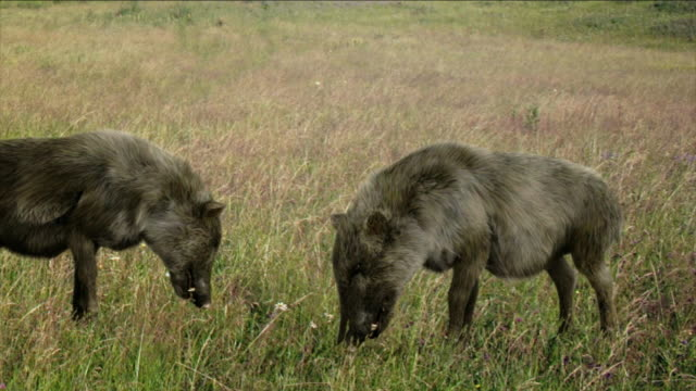 prehistoric boars chew grass in a field in a computer-generated animation. - mammal stock videos & royalty-free footage
