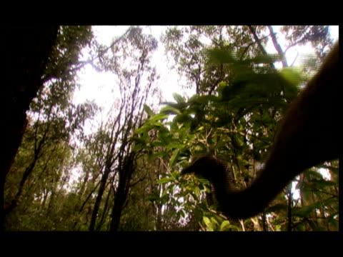 a prehistoric flightless bird walks through a forest. - flightless bird stock videos & royalty-free footage