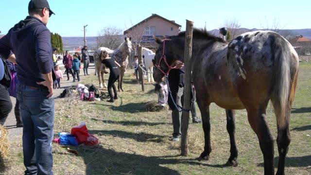 vidéos et rushes de preparation of the horses before taking part in the horse racing on todorovden (the day of todor or theodore), celebrated in devnya, bulgaria - accouplement cheval