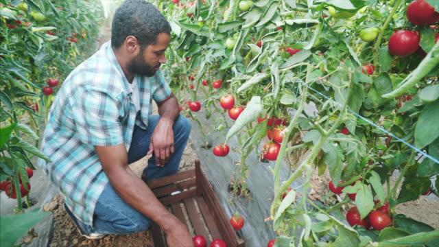 新しい有機トマトの配達を準備しています。 - ファームハウス点の映像素材/bロール