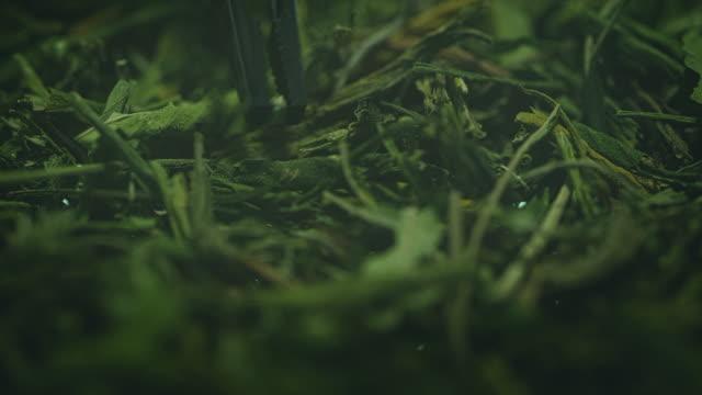 preparing homeopathic medicine from marijuana. leafs close up - homeopathic medicine stock videos & royalty-free footage
