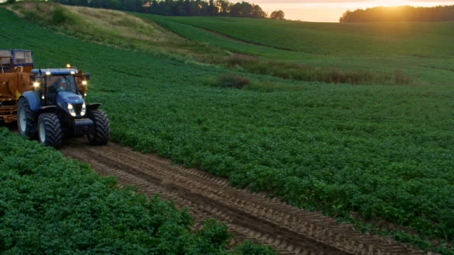preparing to harvest. tractor moving on potato field. sunset - raw potato stock videos & royalty-free footage