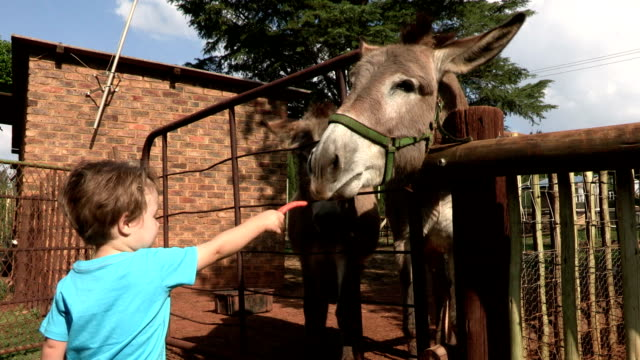 pre-school toddler feeding donkeys - donkey stock videos & royalty-free footage