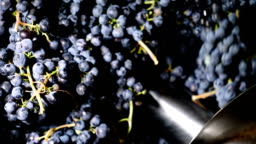 Pressing purple grapes, making wine- Calabria, Italy