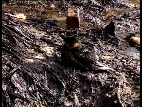 prestige tanker oil spill, 2002: oiled seabird sits amongst oil and debris on beach, northwest coast of spain. - oil spill stock videos & royalty-free footage