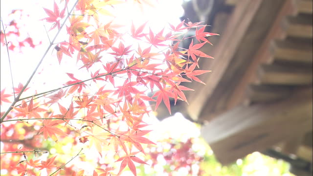 pretty autumn leaves frame the kozanji temple in japan. - eaves stock videos and b-roll footage