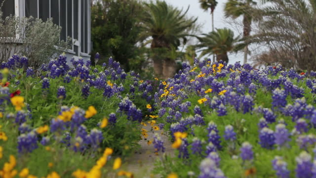 stockvideo's en b-roll-footage met pretty blue and yellow flower sway in the breeze - tuinpad