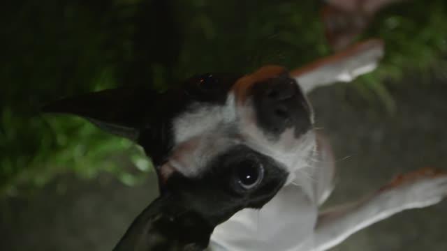 vidéos et rushes de pretty boston terrier dog is begging for meat - demander
