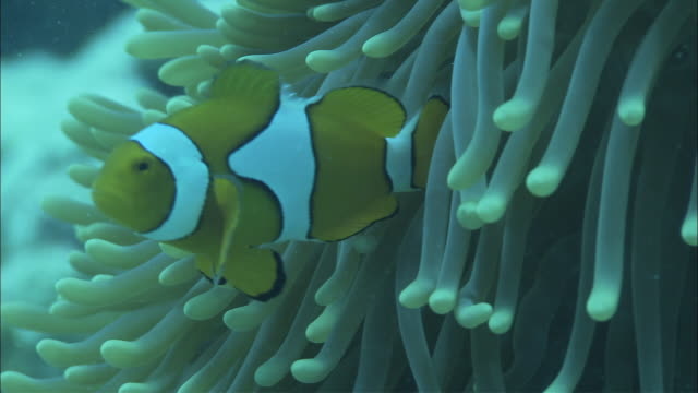 pretty clownfish swim among the tentacles of a sea anemone. - clown anemonefish stock videos & royalty-free footage