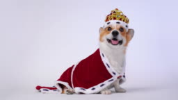 Pretty dog pembroke welsh corgi wearing in the gold crown and red mantles, like a queen, a prince on a white studio background.