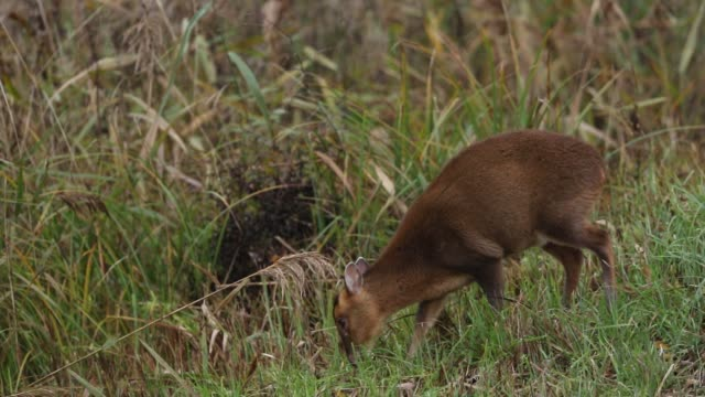 a pretty female muntjac deer (muntiacus reevesi) feeding on an island in the middle of a lake. - doe stock videos & royalty-free footage