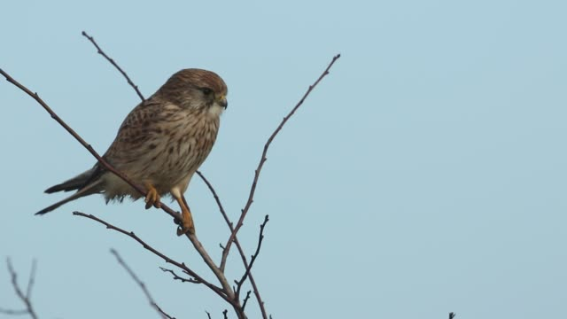 a pretty hunting kestrel, falco tinnunculus, perched on a hawthorn tree. - bird of prey stock videos & royalty-free footage