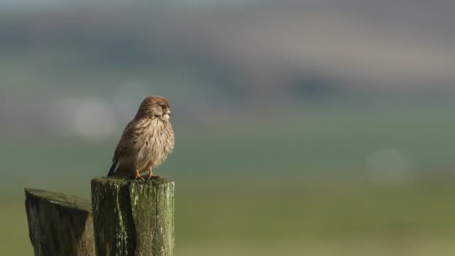 a pretty hunting kestrel, falco tinnunculus, perched on a wooden post. - claw stock videos & royalty-free footage