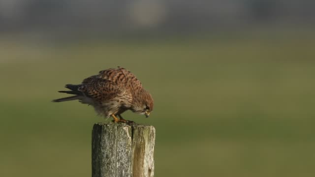 a pretty kestrel, falco tinnunculus, perched on a wooden post. it scratches its beak with its talons and then wipes it beak on the post. - claw stock videos & royalty-free footage
