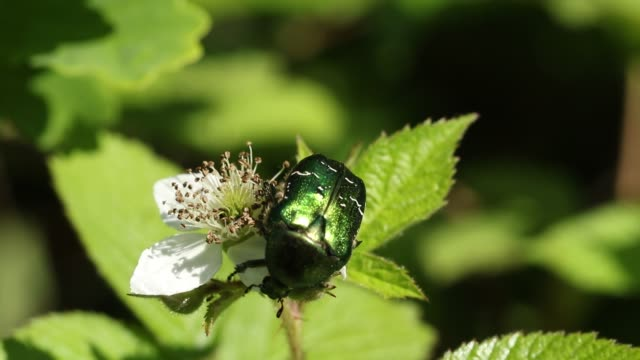 a pretty rose chafer or the green rose chafer beetle, cetonia aurata, nectaring on a blackberry flower. - animal antenna stock videos & royalty-free footage