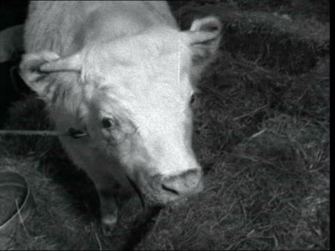 preview of the smithfield animal show; 9.25pm: england: london: earl's court: animals in stalls animals in stalls bull cow two sheep neg 16mm itn 15... - two animals stock videos & royalty-free footage