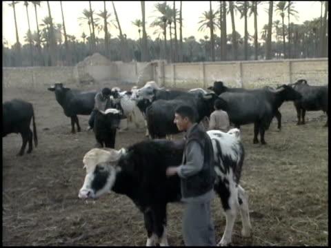 prewar iraq / ws ms iraqi boy feeding cow / cows grazing / iraq - tierische nase stock-videos und b-roll-filmmaterial