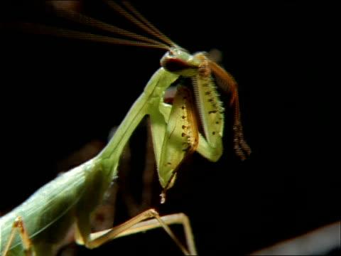 vídeos y material grabado en eventos de stock de a preying mantis grooms itself. - artrópodo