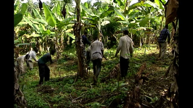 price of cocoa surges after single purchase by london hedge fund t17070115/ july 2001 workers tending plants on cocoa plantation - plantation stock videos & royalty-free footage
