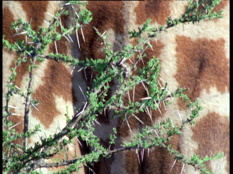 prickly acacia branches and foliage against giraffe's hide - animal markings stock videos & royalty-free footage