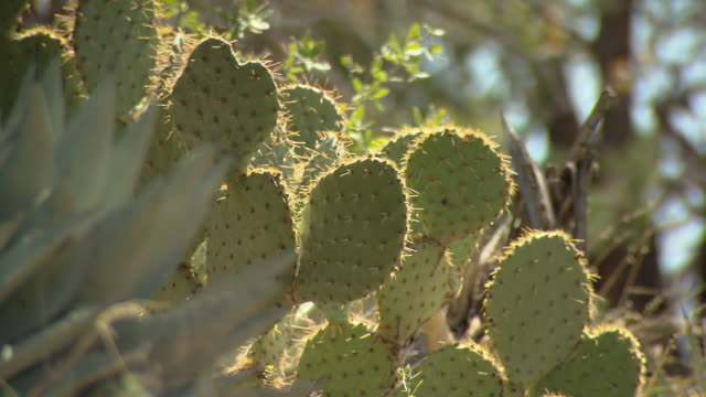 Prickly pear cacti grow in a desert.