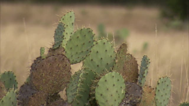 Prickly pear cacti grow on Texan scrubland. Available in HD.